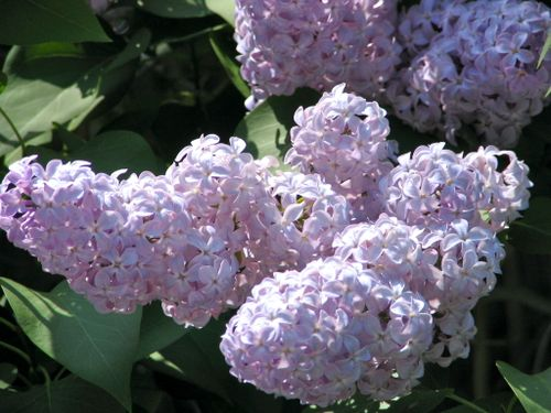 Lilac in Concord