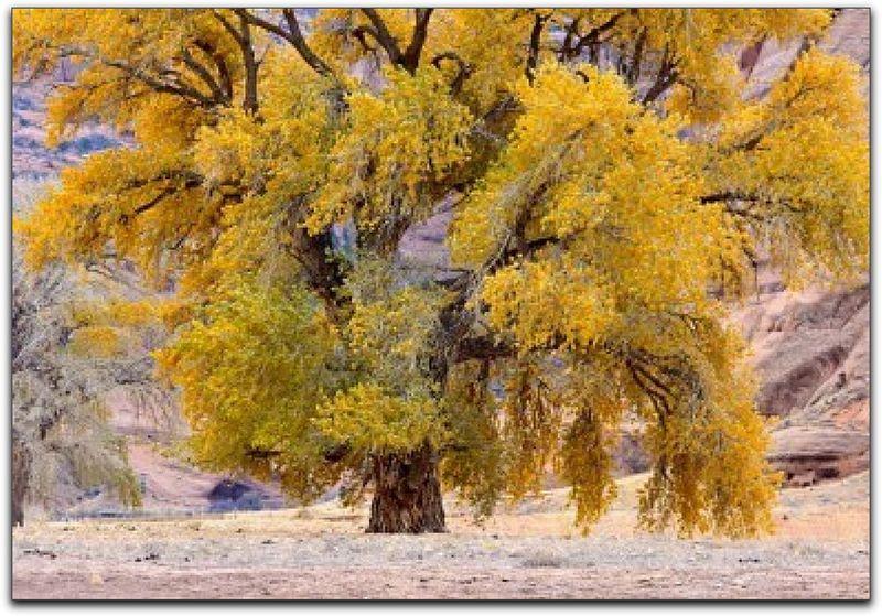Cottonwood Tree 2