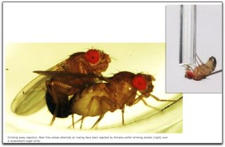 Alcoholic male fruit flies
