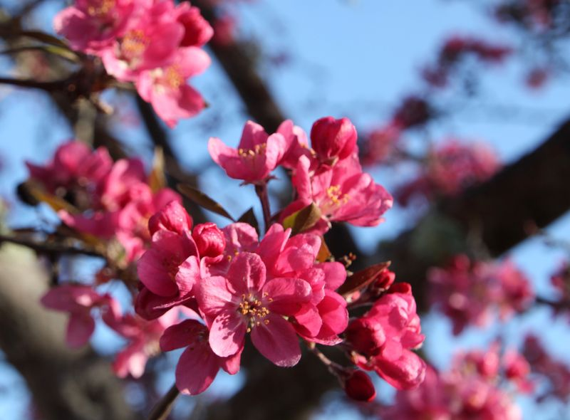 SpringBlossom3