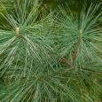 White Pine 3