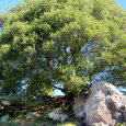 Live oak and rock ledge
