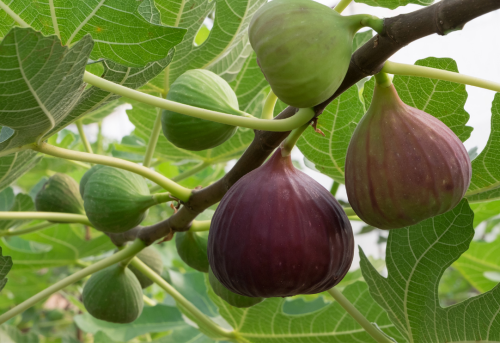 Fig tree and figs